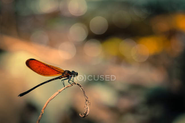 Close-up of dragonfly sitting on twig on blurred background — Stockfoto