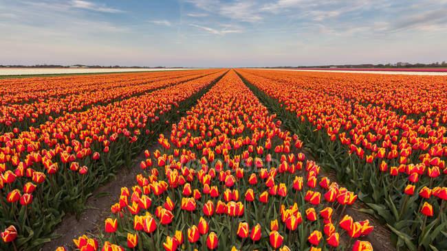 Живописный вид строк оранжевый тюльпан цветы в поле, Голландия — стоковое фото