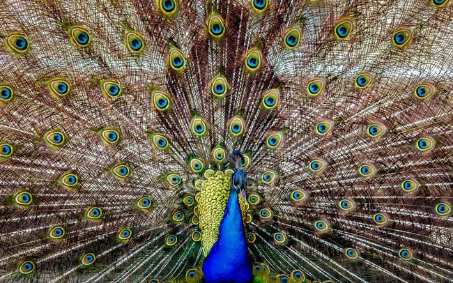 Belo pássaro pavão colorido mostrando cauda — Fotografia de Stock