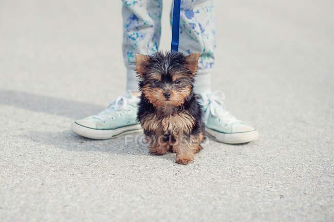 Cucciolo yorkie cane seduto accanto alle gambe femminili — Foto stock