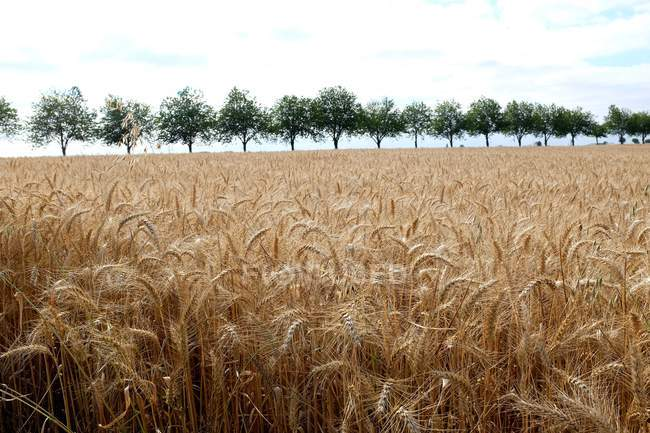 Row of trees and ripe wheat field, Niort, France — Stock Photo