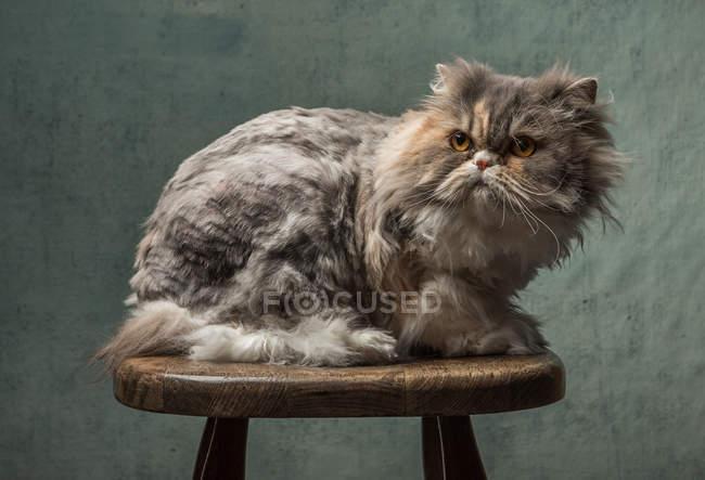 Portrait d'un chat moelleux assis sur un tabouret en bois — Photo de stock