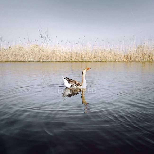 Seitenansicht einer im See schwimmenden Gans in wilder Natur — Stockfoto