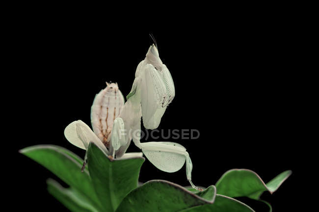 Close-up of Orchid mantis sitting on a leaf — Stock Photo