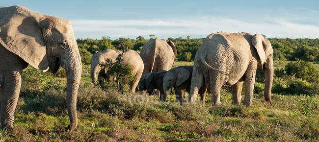 Gruppe schöner Elefanten in freier Wildbahn — Stockfoto