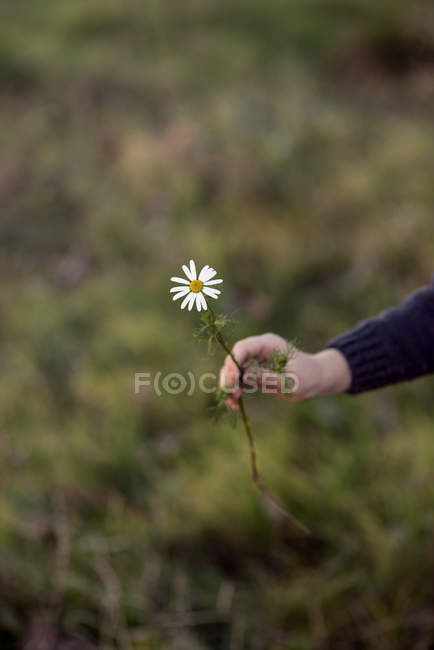Close-up of female hand holding daisy flower — Stock Photo
