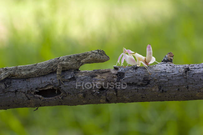 Mantis and lizard sitting on branch against blurred background — Stock Photo