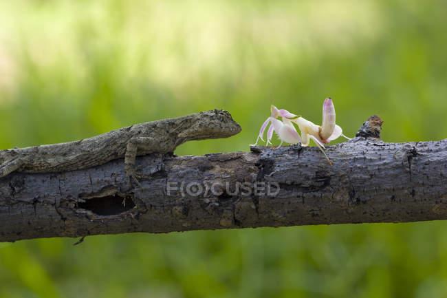 Gottesanbeterin und Eidechse sitzen auf Ast vor verschwommenem Hintergrund — Stockfoto