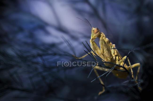 Macro photo of praying mantis sitting in the dark branches — Stock Photo
