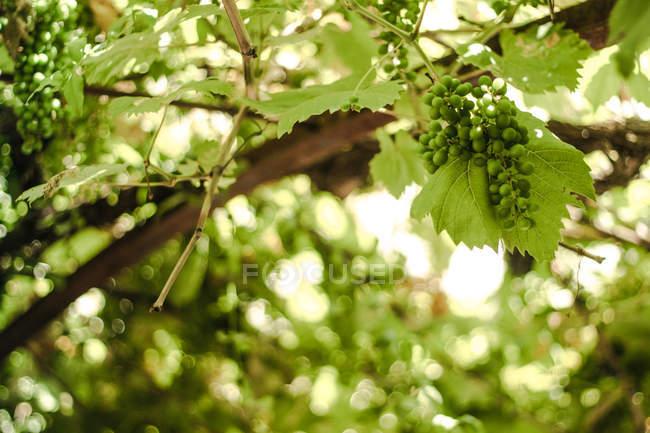 Frescas uvas verdes pendurado no galho batendo fundo desfocado — Fotografia de Stock