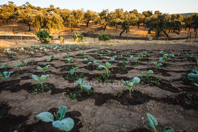 Grüne bewässert Pflanzen wachsen im Bereich — Stockfoto