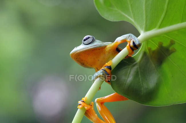 Лягушка, сидящая на листе, размытый фон — стоковое фото