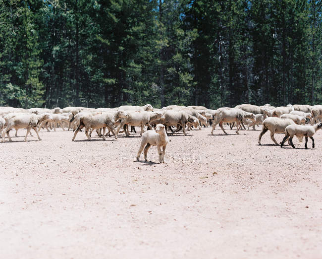 Gran manada de ovejas, Wyoming, América, EE.UU. - foto de stock