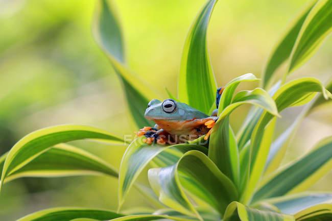 Grenouille des arbres assise dans la plante, fond vert flou — Photo de stock