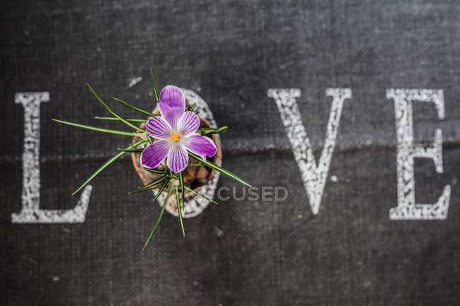 Word love white lettering on black background with beautiful crocus flower — Stock Photo