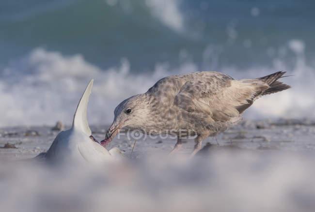 Gaivota comendo um tubarão morto na praia, fundo desfocado — Fotografia de Stock