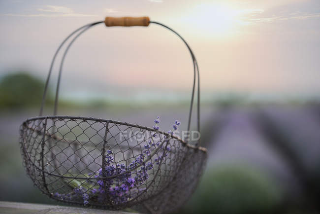 Close-up of metal basket with lavender flowers — Stock Photo