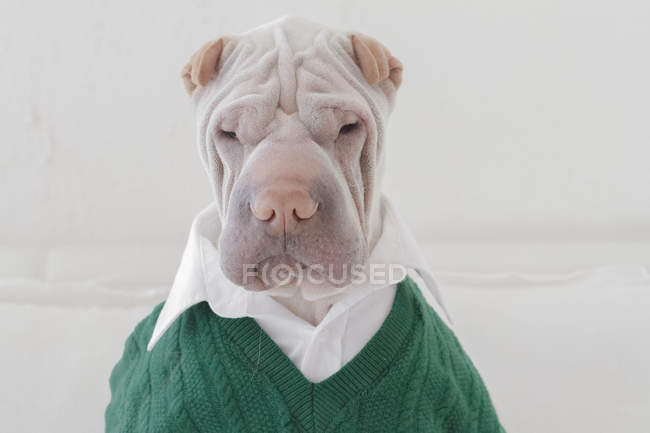 Portrait of white Chinese Shar-Pei dog dressed in a shirt and green sweater — Stock Photo