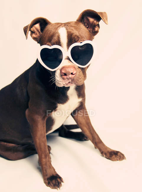 Puppy pit bull terrier Dog wearing heart shaped sunglasses — Stock Photo