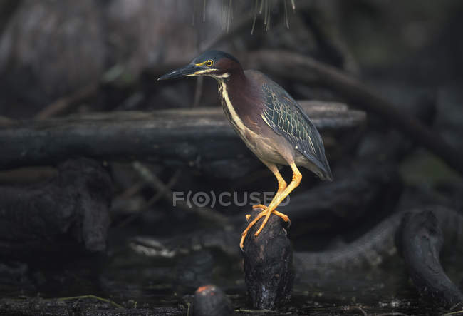 Wild Green Heron Bird close-up, Florida, America, Stati Uniti — Foto stock