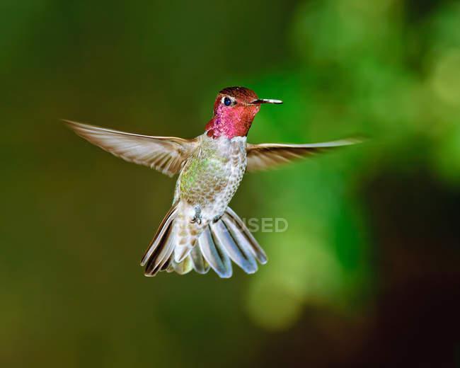 Männchen Annas Kolibri schwebt in der Luft vor verschwommenem Hintergrund — Stockfoto