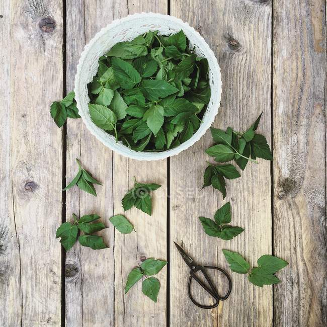 Ground elder or aegopodium podagraria green leaves and scissors on wooden table — Stock Photo