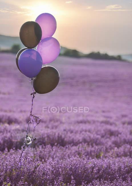 Пурпурные шары в поле лаванды цветок, Стара Загора, Болгария — стоковое фото