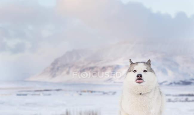 Retrato de un perro husky contra montaña cubierto de nieve - foto de stock