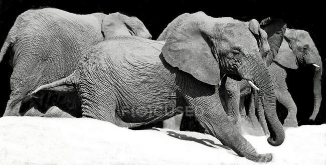 Monochrome image of cute elephants against black background — Stock Photo
