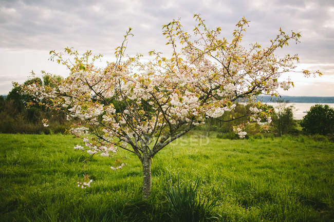 Scenic view of springtime tree in blossom — Stock Photo