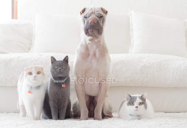 White Chinese Shar-Pei dog sitting at white sofa with Scottish Fold cat and two British Shorthair  cats — Stock Photo