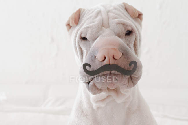 Portrait of white Chinese Shar-Pei dog with paper mustache — Stock Photo