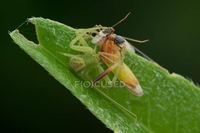 Ragno e due mosche che si alimenta sul bug baciare contro sfondo sfocato — Foto stock