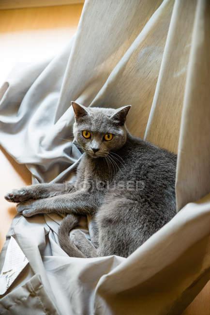 Schöne Katze liegt auf Vorhang und schaut in die Kamera — Stockfoto