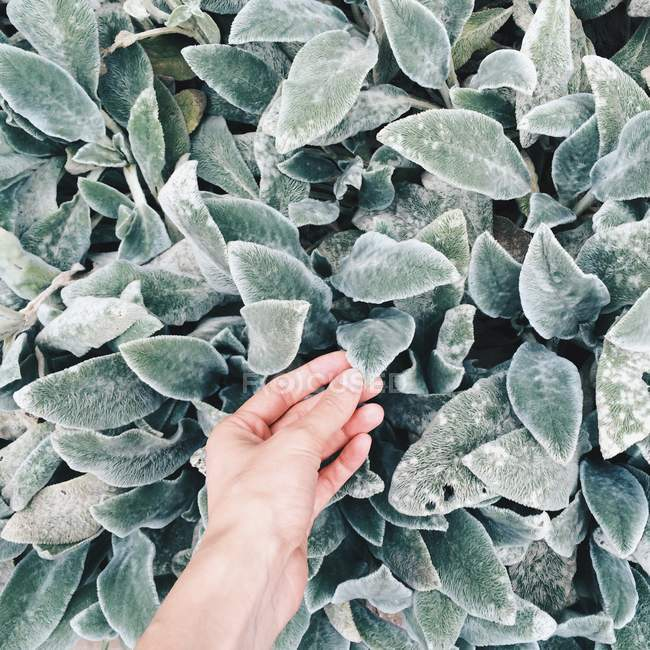Close-up view of human hand touching green leaves — Stock Photo