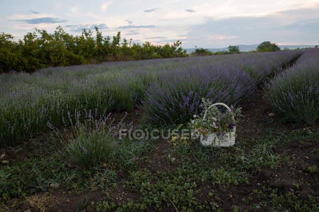 Живописный вид корзины цветов в сиреневом поле. — стоковое фото