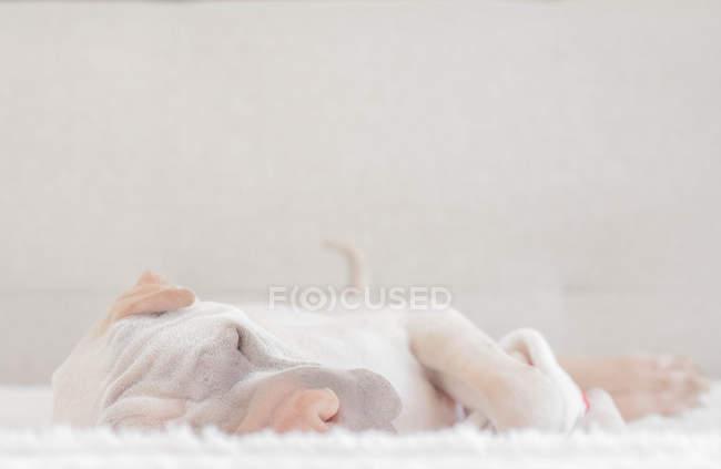 Chien chinois blanc Shar-Pei dormant — Photo de stock