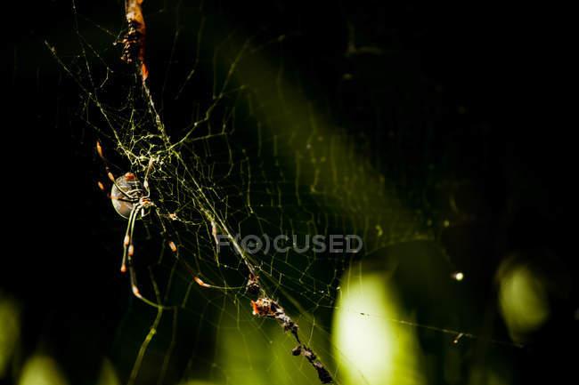 Saint Andrews Cross ragno seduto nel web, sfondo nero — Foto stock