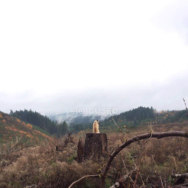 Vista posteriore del simpatico carlino seduto sul tronco d'albero nella foresta — Foto stock