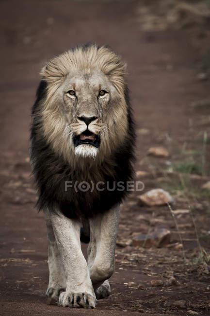 Beautiful majestic lion walking at wild nature — Stock Photo