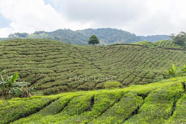 Tea Plantation, Cameron Highlands, Pahang, Malaysia — Stock Photo