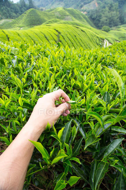 Male hand picking Tea leaves, Cameron Highlands, Pahang, Malaysia — Stock Photo