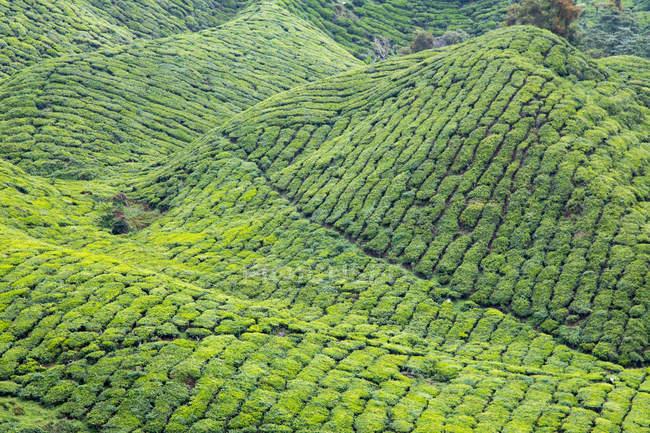 Scenic view of Tea Plantation, Cameron Highlands, Pahang, Malaysia — Stock Photo
