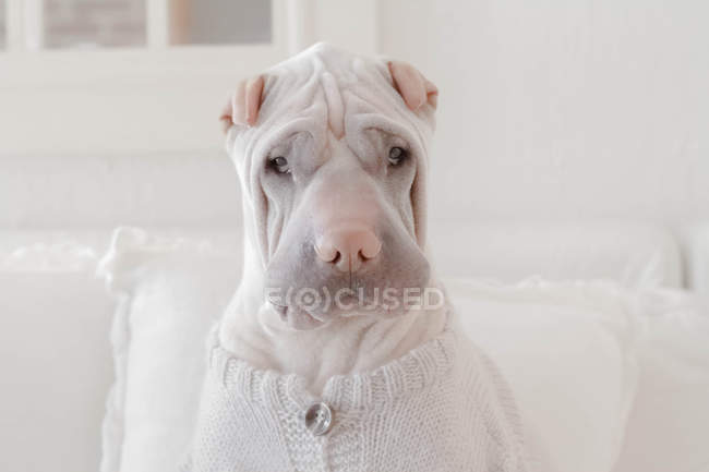 Shar Pei dog sitting on couch wearing sweater — Stock Photo