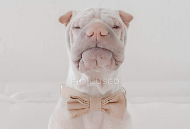 Chien Shar Pei, portant noeud papillon — Photo de stock