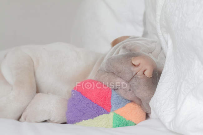 Shar pei dog sleeping with toy ball — Stock Photo