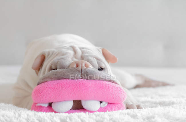 Shar pei dog lying on carpet with toy mouth — Stock Photo
