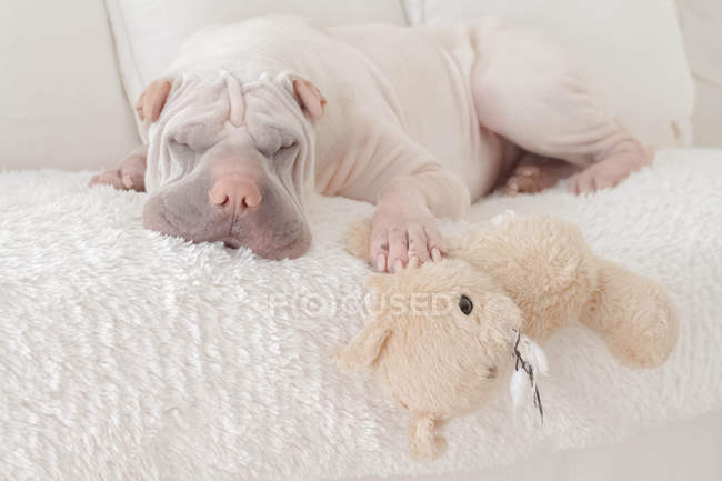 Sharpei dog sleeping on couch with teddy bear — Stock Photo