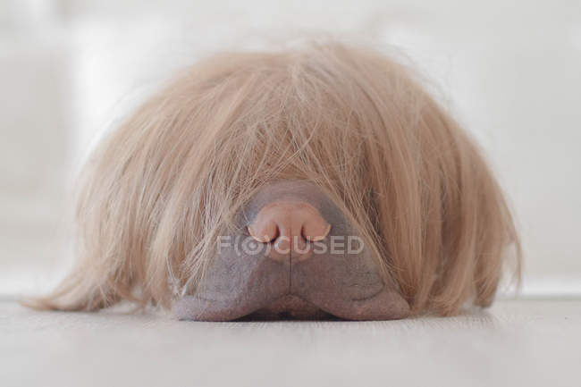 Sharpei dog wearing a wig, closeup — Stock Photo