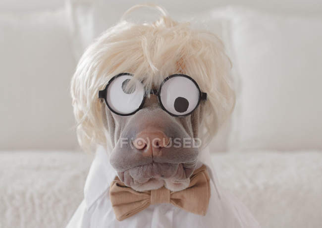Shar pei dog dressed as a crazy professor — Stock Photo